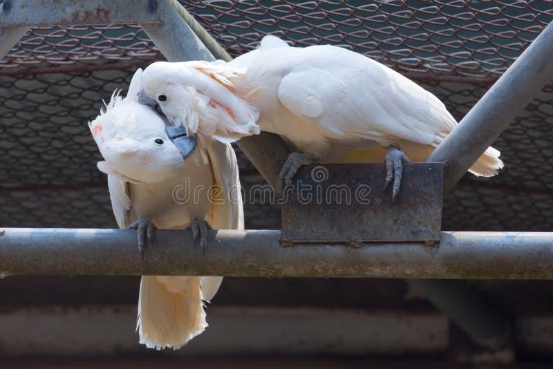 Kuss mit zwei Weißhaubenkakadus zusammen lizenzfreie stockfotografie