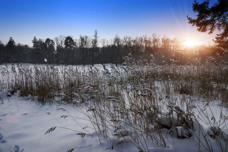 Kust av skogsjön med rottingar i förgrunden i vintersolnedgång royaltyfri bild