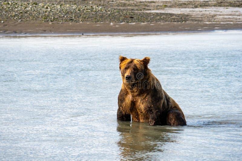 Kust bruin van Alaska draagt grizzly zit in het water vissend voor zalm in het Nationale Park van Katmai stock foto