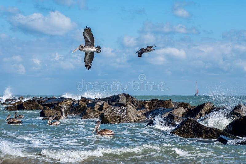 Kust Bruine Pelikanen stock afbeeldingen