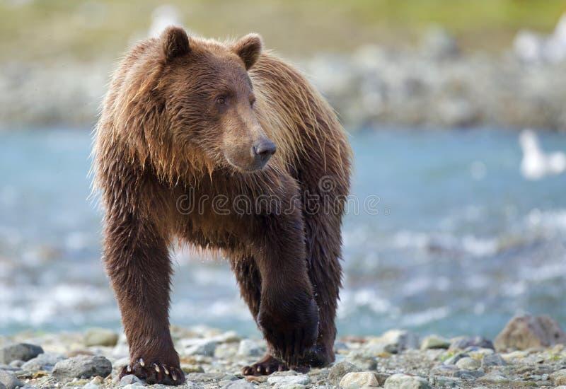 Kust- brunbjörn arkivfoto