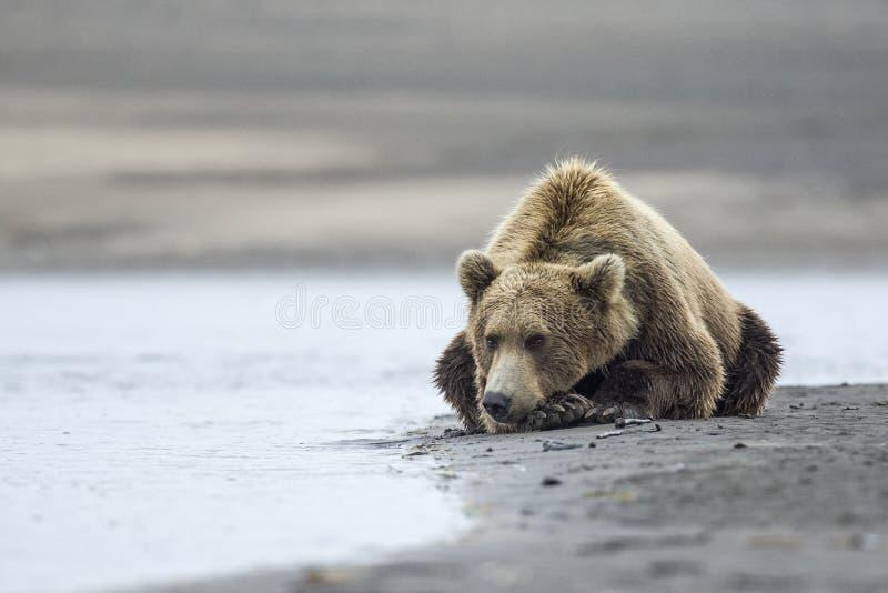 Kust- brunbjörn arkivbild