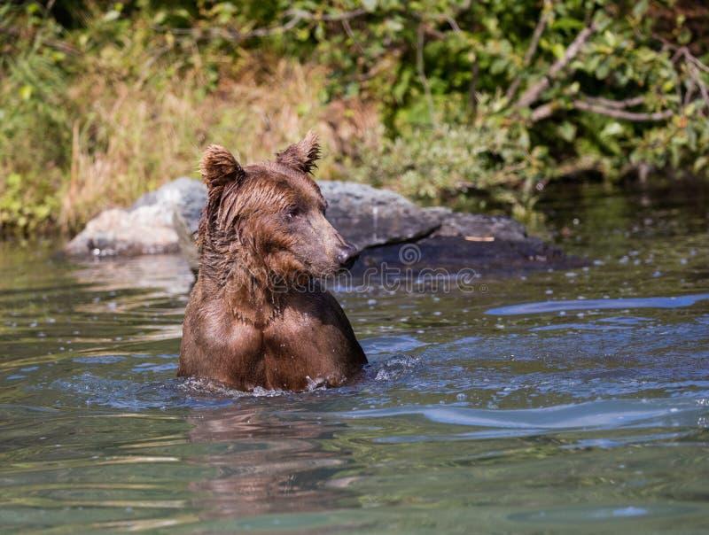 Kust- brunbjörn i vattnet arkivbilder