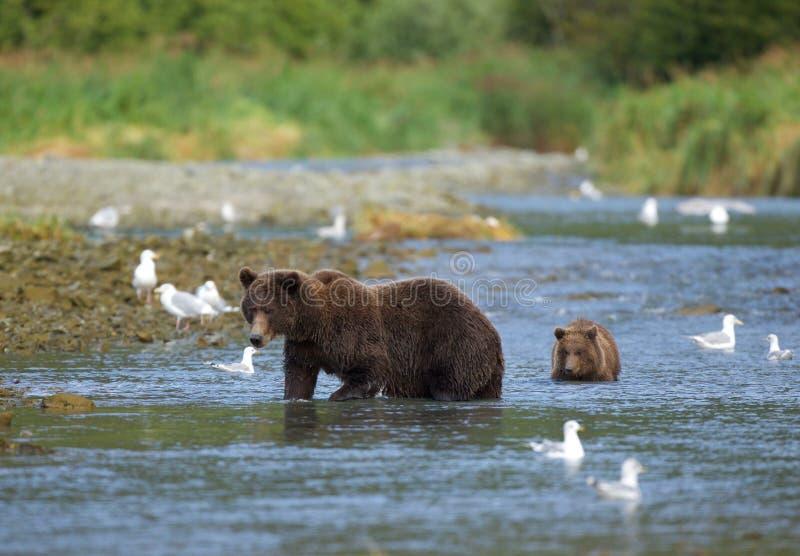 Kust- brunbjörn med gröngölingen royaltyfri foto