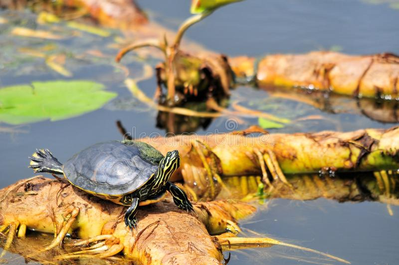kust- cootersköldpadda royaltyfri fotografi