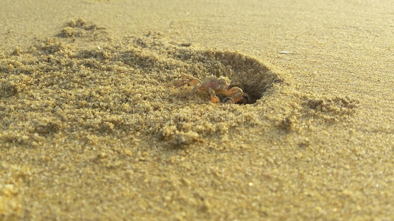 kust för hav för strandblackkrabba royaltyfri foto