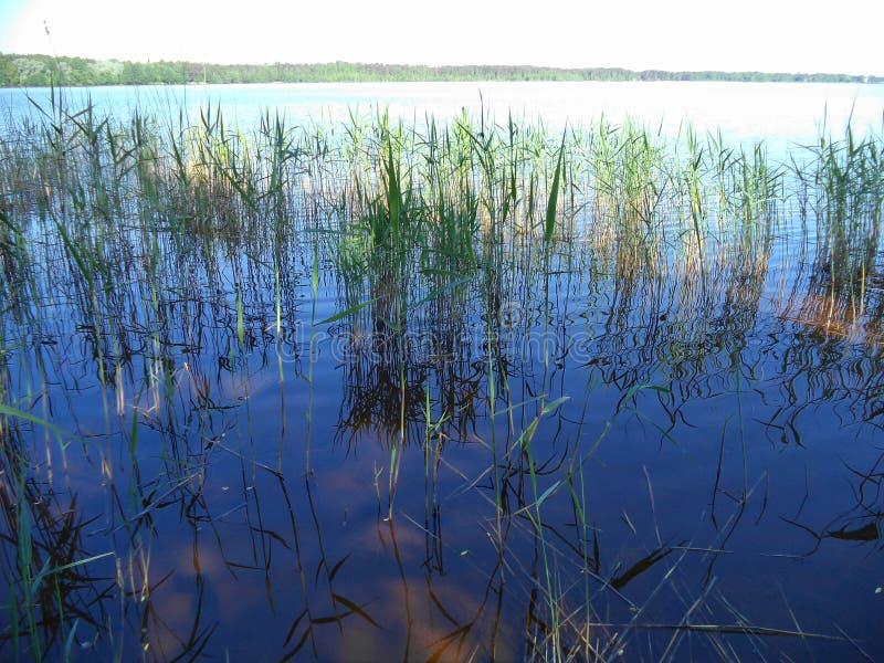 Kust- gräs på sjön royaltyfria bilder