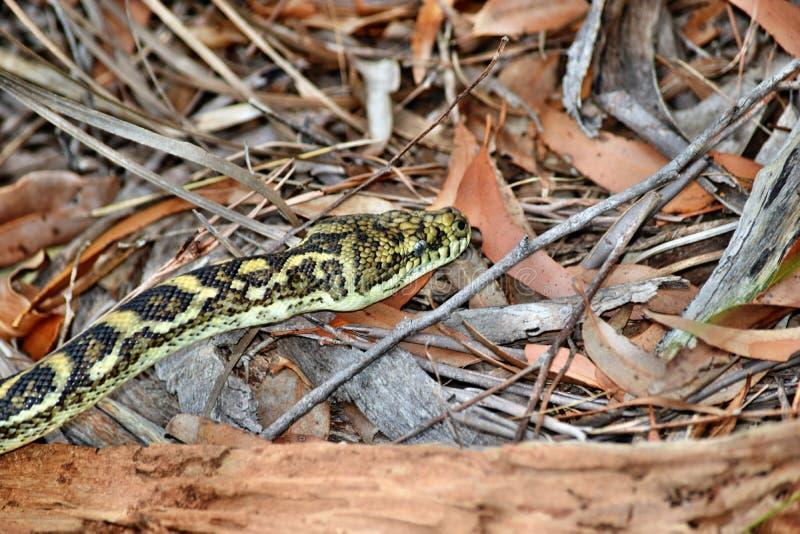 Kust- mattpytonorm för australisk orm royaltyfri bild