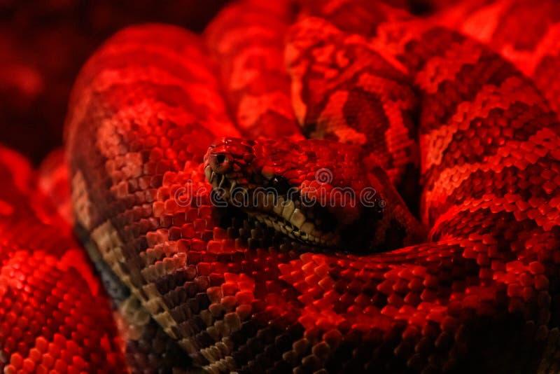 Kust- mattpytonorm för orm, Morelia spilotamcdowelli royaltyfria foton