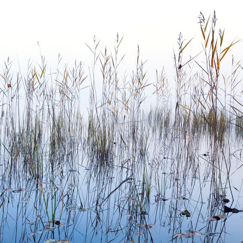Kust riet en glanzend meerwater in mist stock foto's