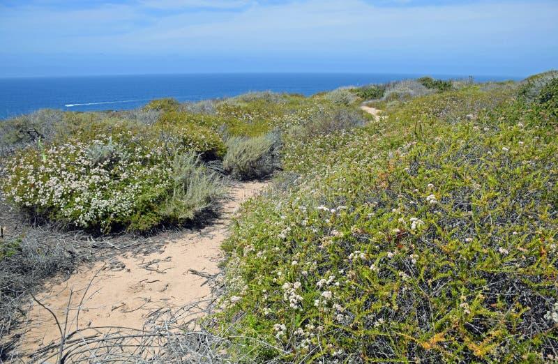 Kust- Sage Community i det Dana Point Headlands Conservation området arkivbild
