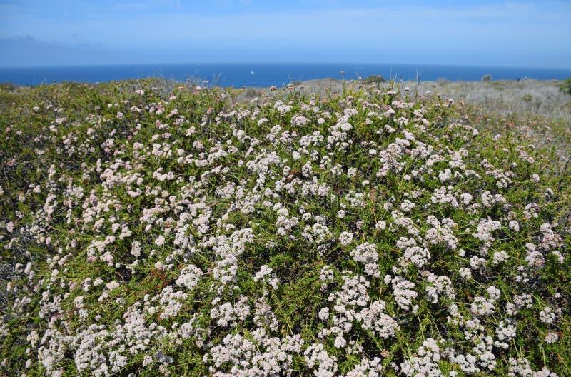 Kust- Sage Community i det Dana Point Headlands Conservation området arkivbilder