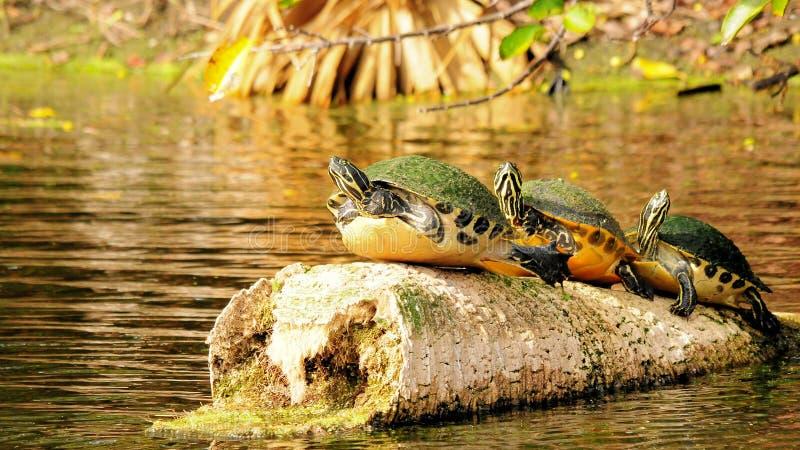 kust- sköldpaddor för cooter tre royaltyfri fotografi