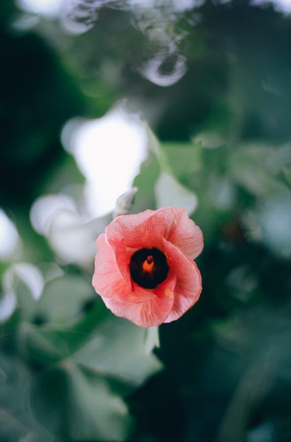 Kusthibiscusbloem stock afbeeldingen
