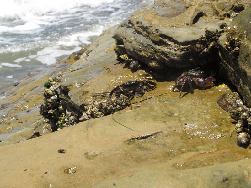 Kustkrabbor på Rocky Tide Pools Areas av sydliga Kalifornien royaltyfri bild
