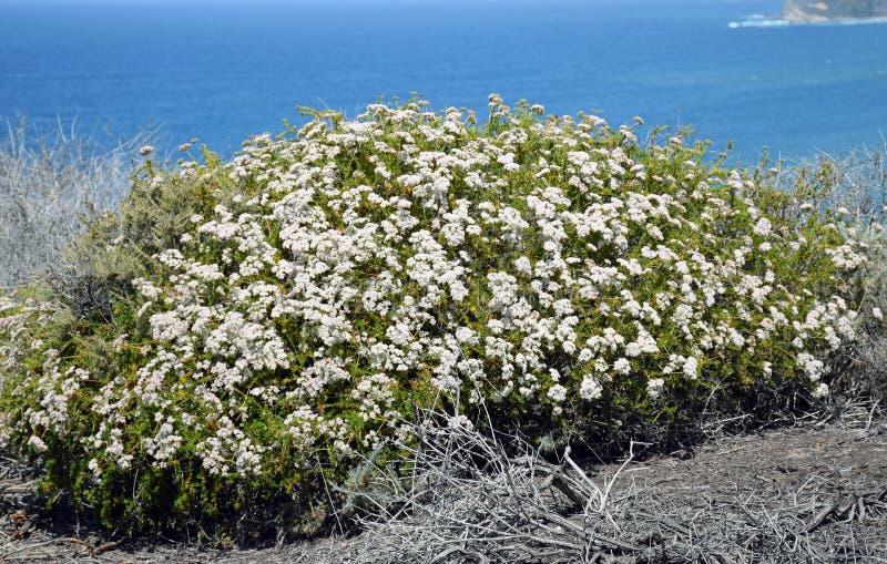 Kustsage community in het Dana Point Headlands Conservation-gebied royalty-vrije stock foto's