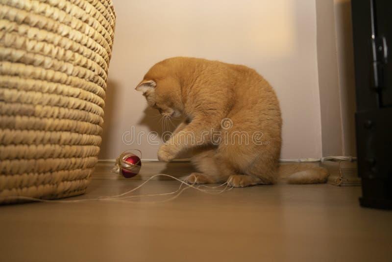 Kute kitten die in de kamer speelt met een touw, close-up foto exotische korte haarkat royalty-vrije stock foto's