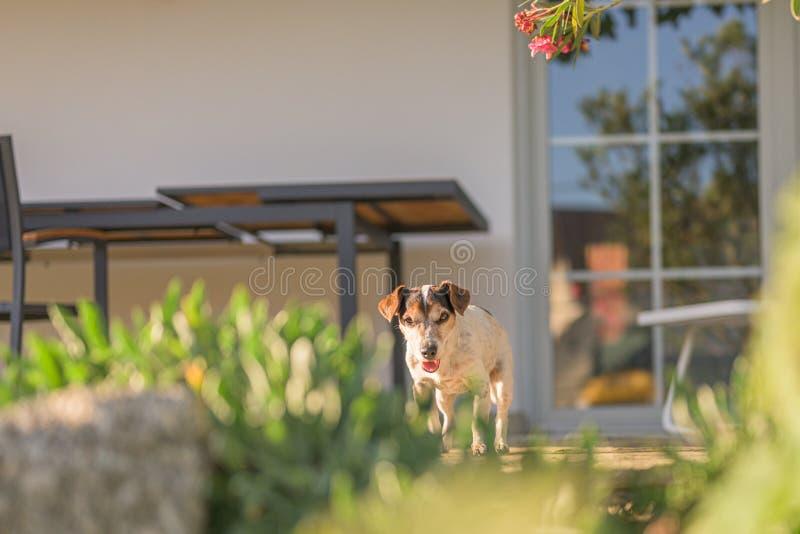 Kute oude Jack Russell Terrier dog is thuis op het terras. Doggy is 13 jaar oud royalty-vrije stock afbeeldingen
