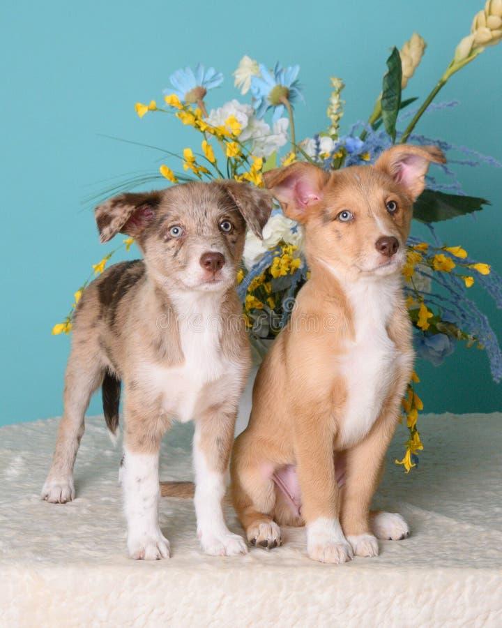 Kute puppies op blauwe achtergrond stock afbeeldingen