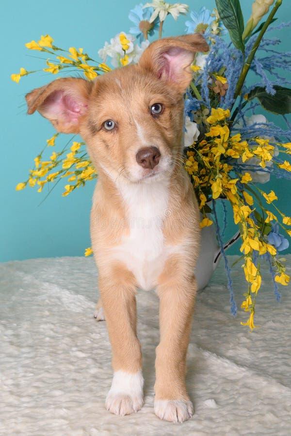 Kute puppy op blauwe achtergrond royalty-vrije stock afbeeldingen