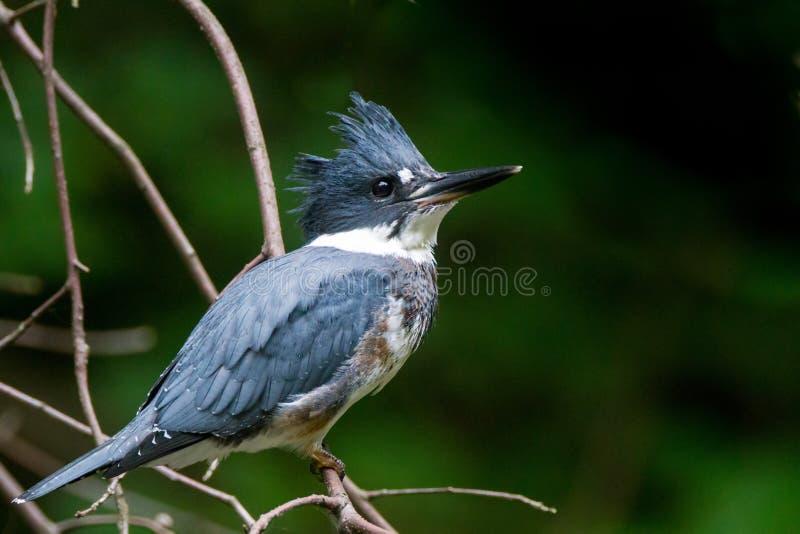 kuten kingfisher royaltyfri foto