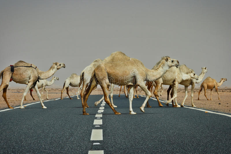 Kuwait: Camel crossing. Camels are crossing a highway in desert in Kuwait stock photo
