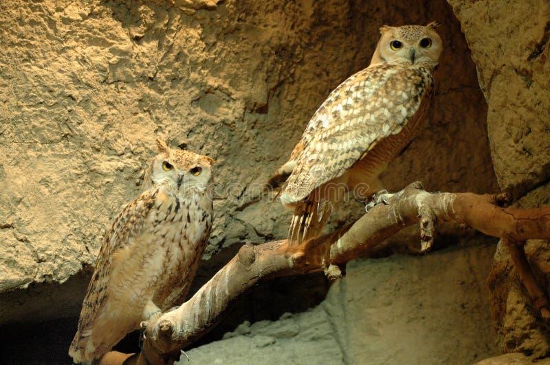 kuwait owl fotografering för bildbyråer
