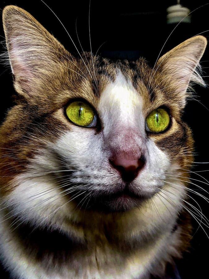 Kuzia - ?ltere Katze (12 y lizenzfreie stockbilder