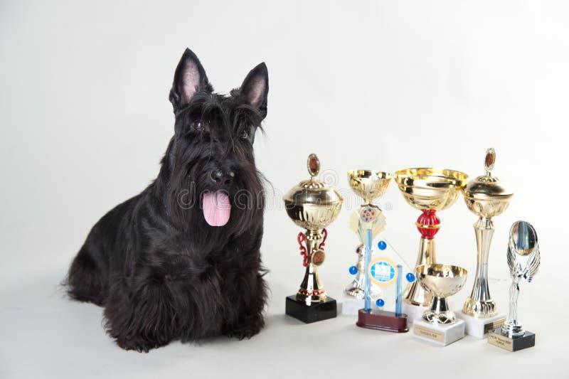 Kväva terriern med medaljer och koppar arkivfoton