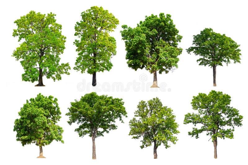 Kvalitets- stort grönt träd för samlingshöjd royaltyfria bilder