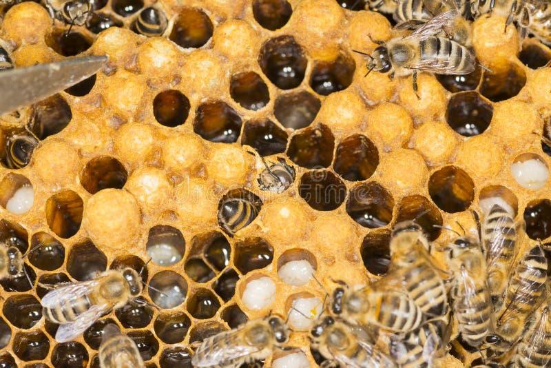 Kvalster i en ondsint krypkvalster för bikupa i en bibikupa arkivfoto