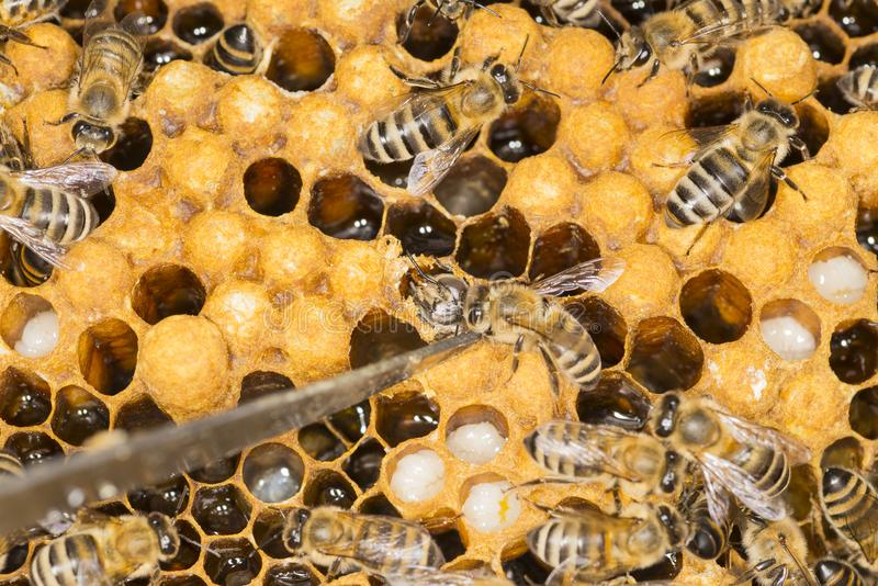 Kvalster i en ondsint krypkvalster för bikupa i en bibikupa arkivfoton
