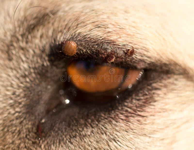 Kvalsterar på ögat av en hund fotografering för bildbyråer