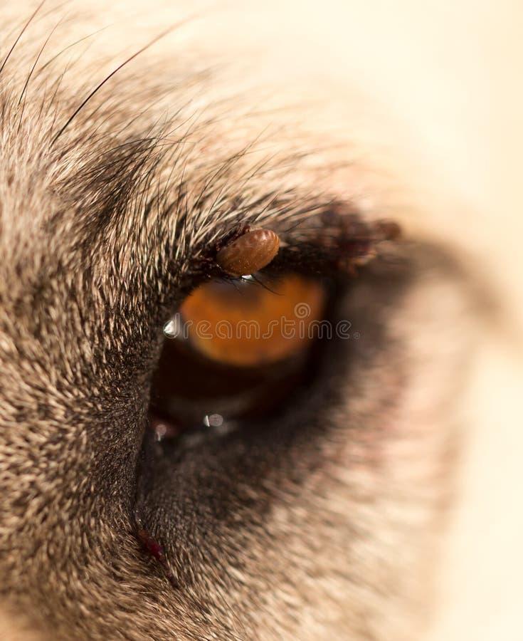 Kvalsterar på ögat av en hund royaltyfria foton