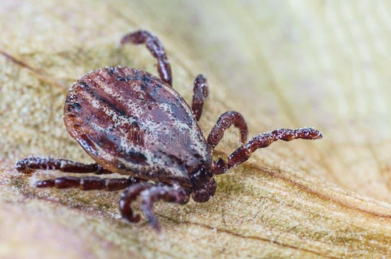 Kvalsteren sitter på ett torrt blad, en farlig parasit och en bärare av infektioner arkivbilder