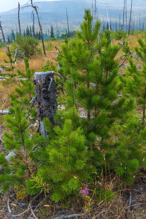Kvarlevor och vitalisering av St Mary & x27; s Forest Fire nära glaciärnationalpark royaltyfri foto