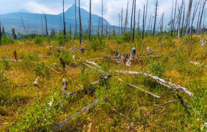 Kvarlevor och vitalisering St Mary & x27; s Forest Fire Glacier National Park arkivbild
