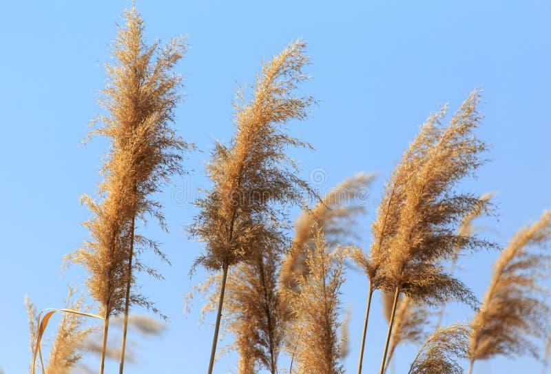 Kvast på vassen mot den blåa himlen arkivfoton