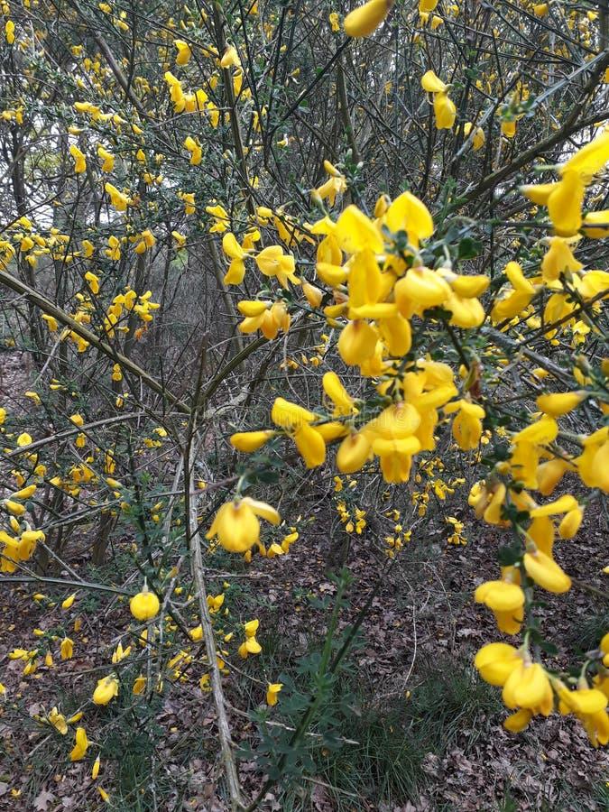 Kvasten blommar Bonny royaltyfria foton
