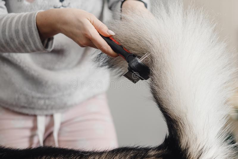 Kvinna i buskig svans för grått omslag och rosa flåsandehårkamhunds arkivbilder
