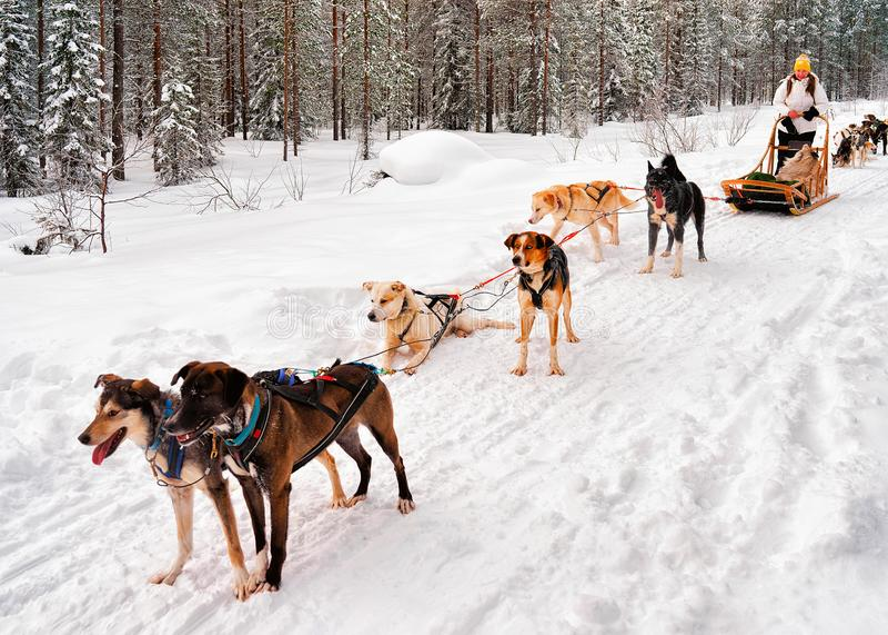 Kvinna i Husky Dogs Sled Rovaniemi av Finland Lapland arkivfoton