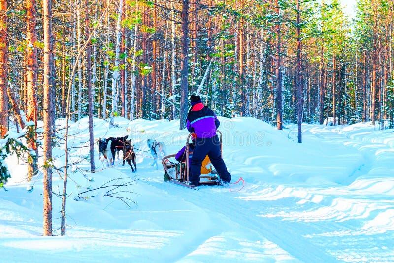 Kvinna i Husky Dogs Sled i Rovaniemi royaltyfria foton