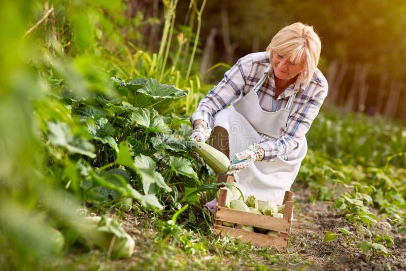 Kvinna i trädgården som ser den organiska producerade zucchinin arkivbild