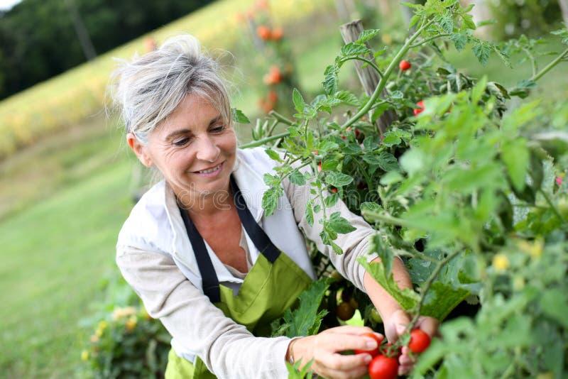 Kvinna i trädgården som upp väljer röda tomater royaltyfri bild