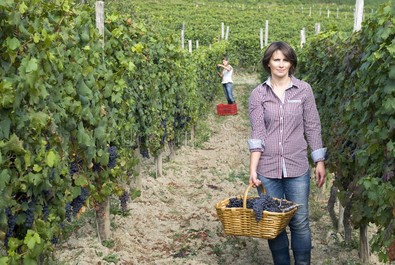 Kvinna i vingård under skördsäsong arkivfoton