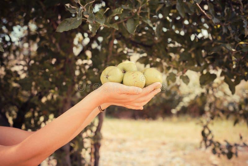Kvinna med äpplen under träd royaltyfri foto