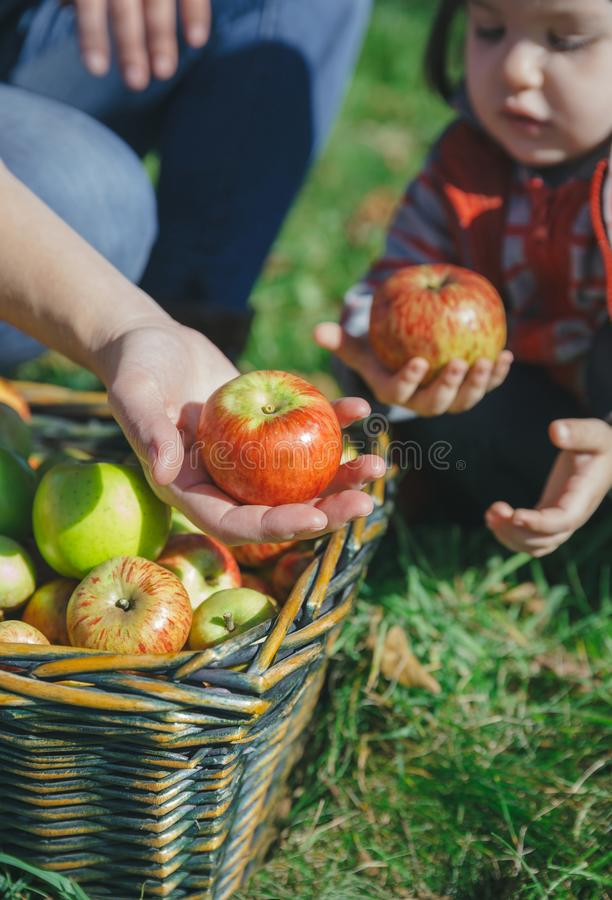 Kvinna och flicka som rymmer organiska äpplen i händer royaltyfria bilder