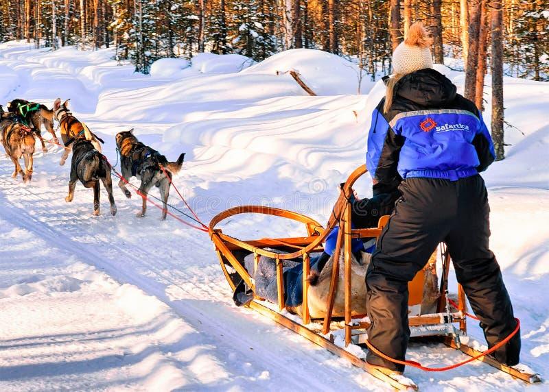 Kvinna på Husky Dogs Sled i Rovaniemi i Finland Lapland royaltyfria foton