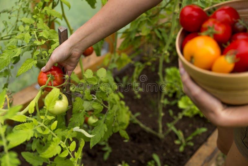 Kvinna` s räcker att skörda nya organiska tomater royaltyfri foto
