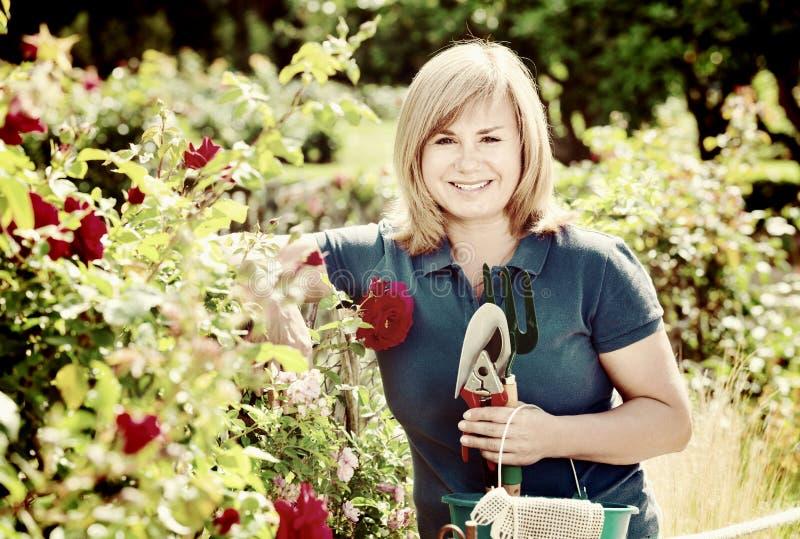 Kvinna som arbeta i trädgården röda rosor och innehavträdgårds-hjälpmedel på solen royaltyfri fotografi